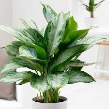 evergreen chinese plant